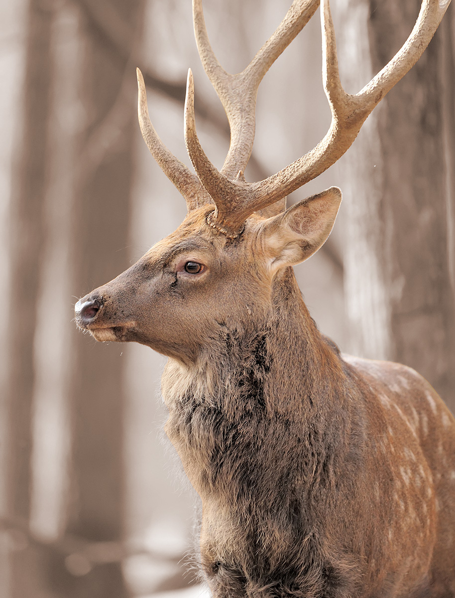 Striking photograph of a deer with large antlers in a Utah forest.
