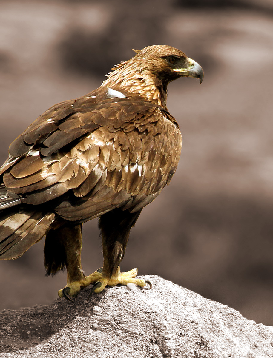 Striking photograph of an Eagle perched on a rock in Southern Utah.