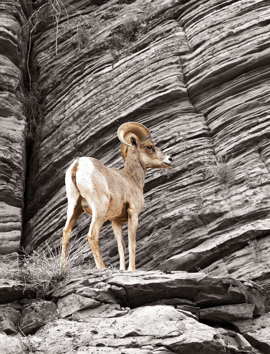 Striking photograph of a mountain goat in southern Utah.
